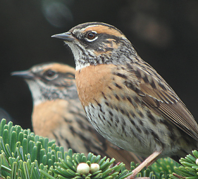 Rufous-breasted Accentors