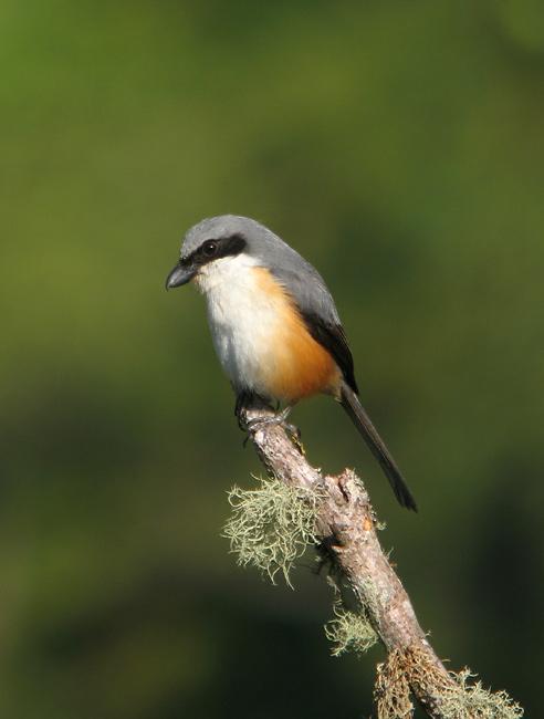 Mountain (Grey-capped) Shrike