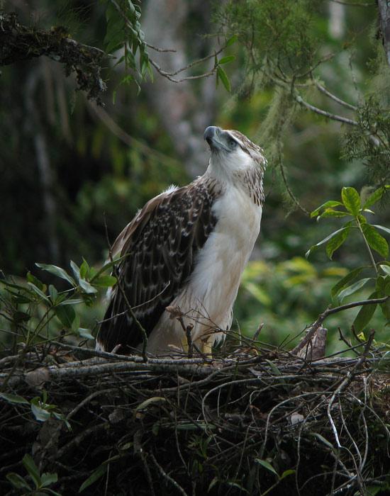 Philippine (Monkey-eating) Eagle