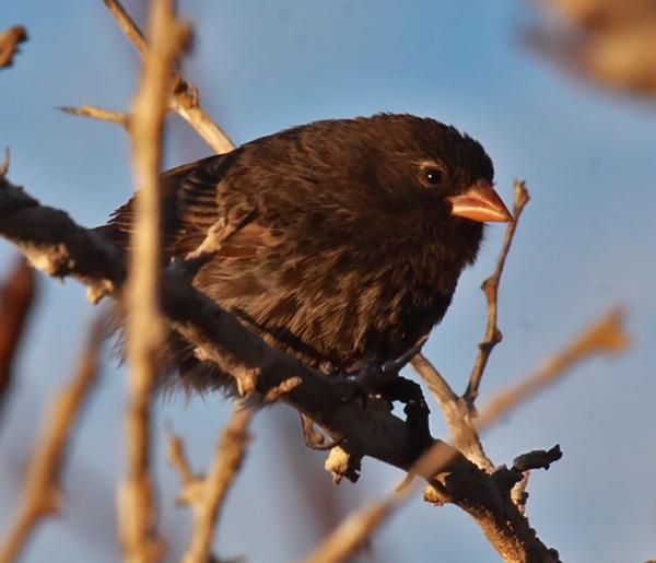 Sharp-beaked Ground-Finch