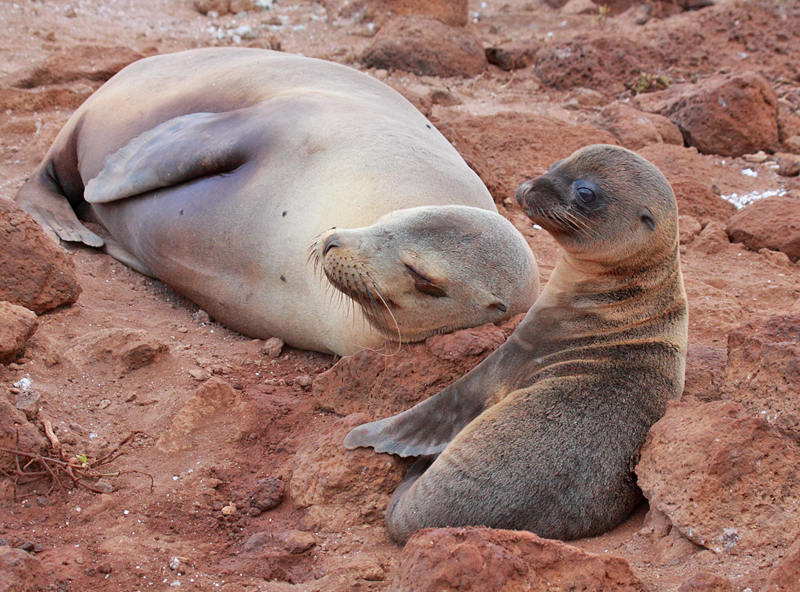 Mother and Pup Galapagos Sea-Lion