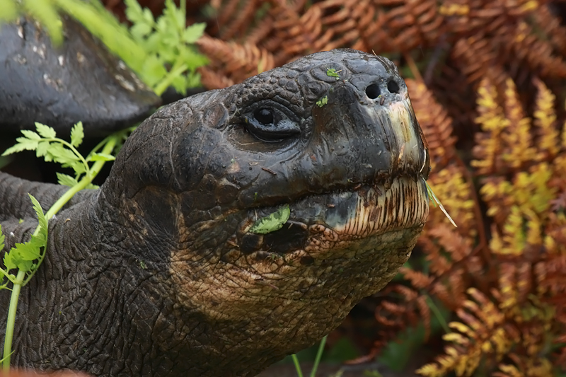Santa-Cruz-Giant-Tortoise-Head-shot-IMG_8839-Finca-Mariposa-Santa-Cruz-Galapagos-13-Nov-2010.jpg