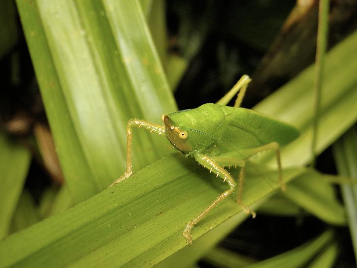 Grasshopper species (Ecuador)