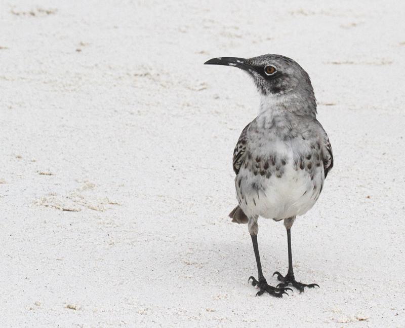 Espanola Mockingbird