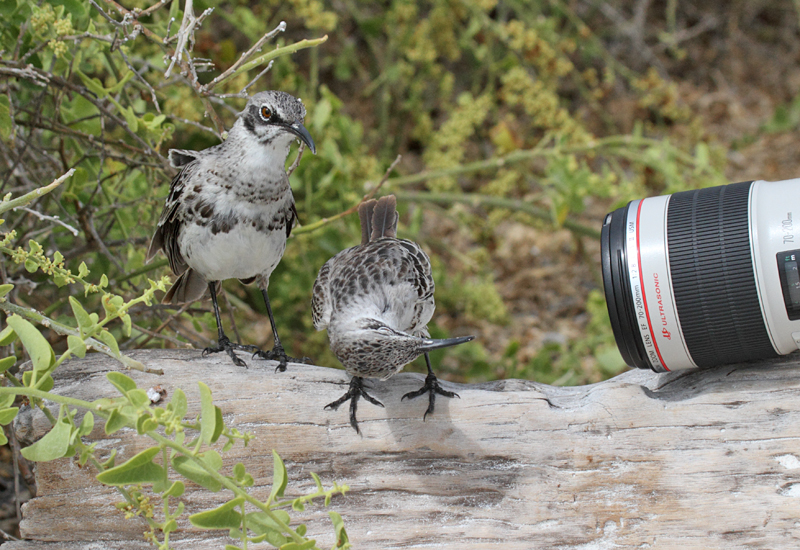 Espanola Mockingbirds