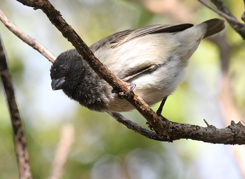 Medium Tree Finch