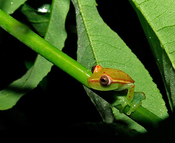 Polkadot Treefrog