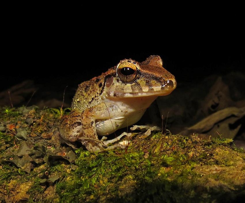 Bransfords Litter Frog