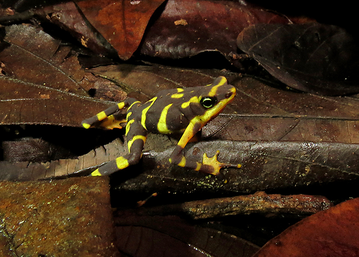 Yellow and Black Harlequin Frog