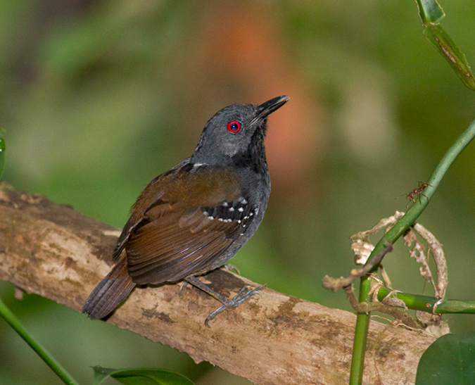 Dull-mantled-Antbird-male-Panama-Edited-IMG_7326.jpg