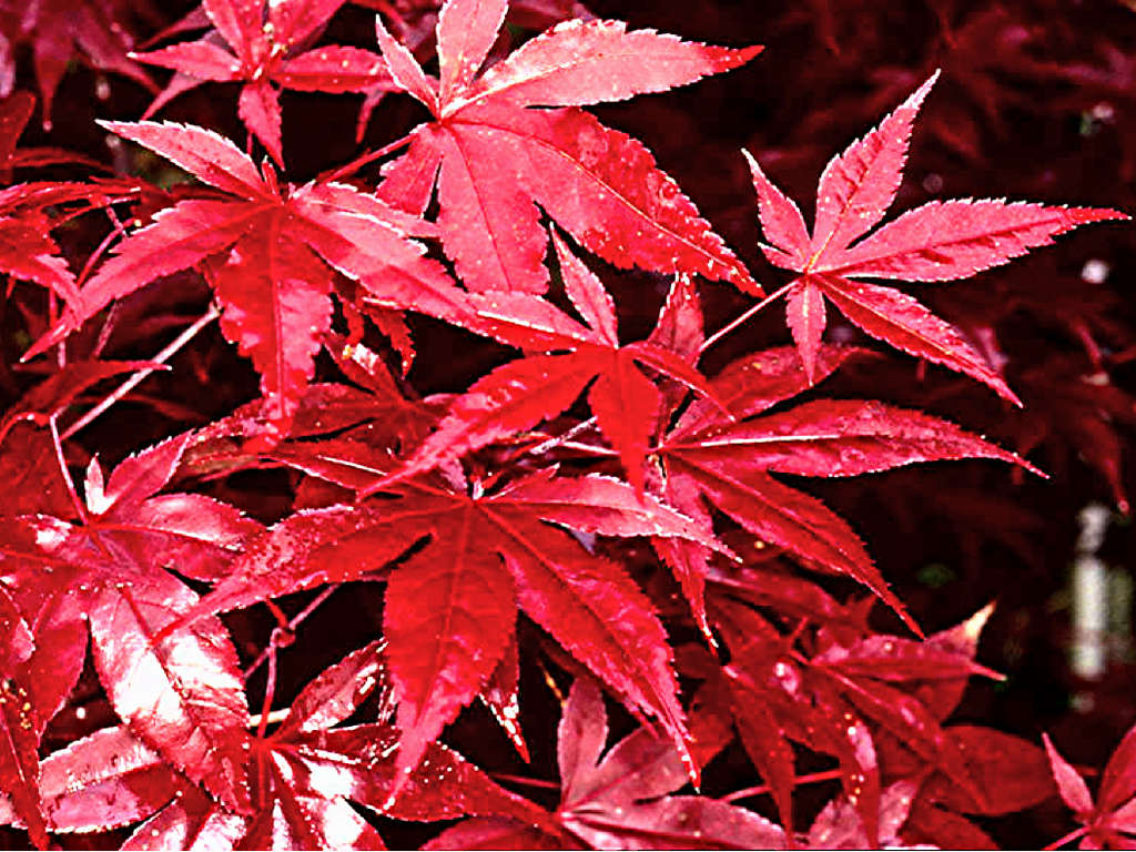Acer Palmatum Red Baron Photo Azalea Society Of America Photos