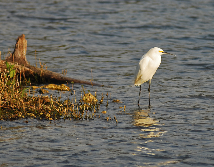 just added - snowy egret