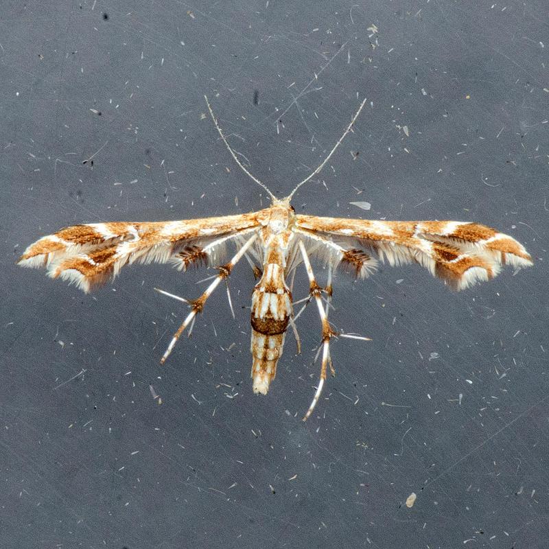6091 Grape Plume Moth - Geina periscelidactylus