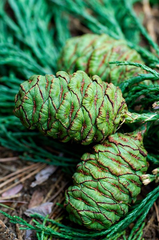 Cone of Giant Sequoia