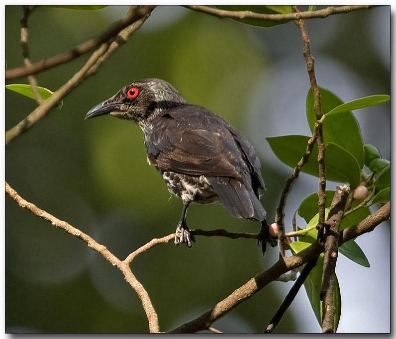 Asian Glossy Starling - juvenile