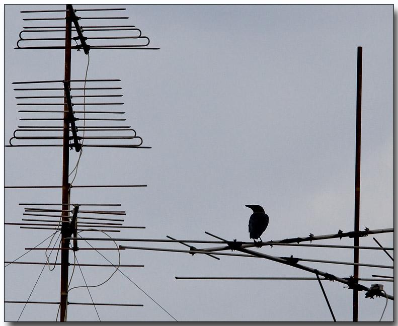 Urban Crow - watching TV :-)