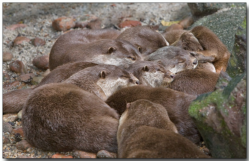 Asian Small-clawed Otters - group nap