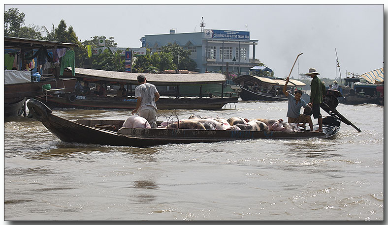 Piggies going to market - Floating Market
