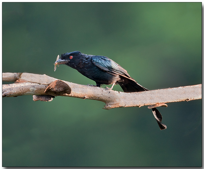Lesser Racket-tailed Drongo - Female with breakfast