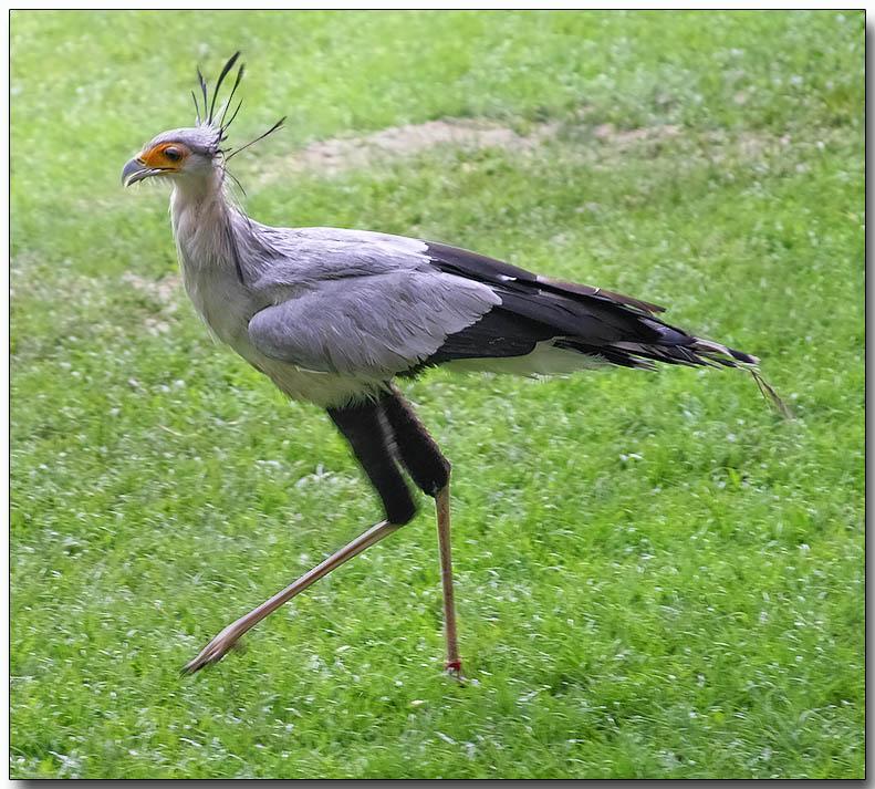 Secretary Bird in motion