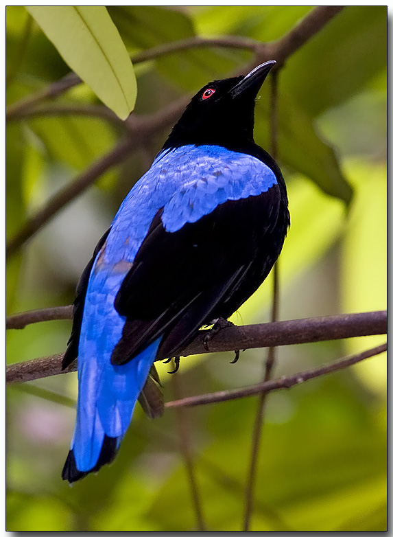 Fairy Bluebird - male