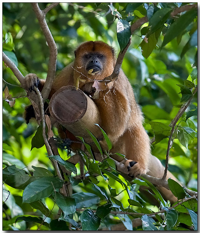 Black Howler - female
