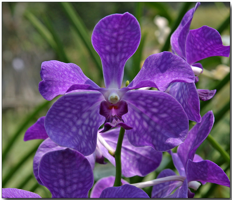 Orchid 48