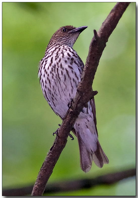 Violet-backed Starling - female