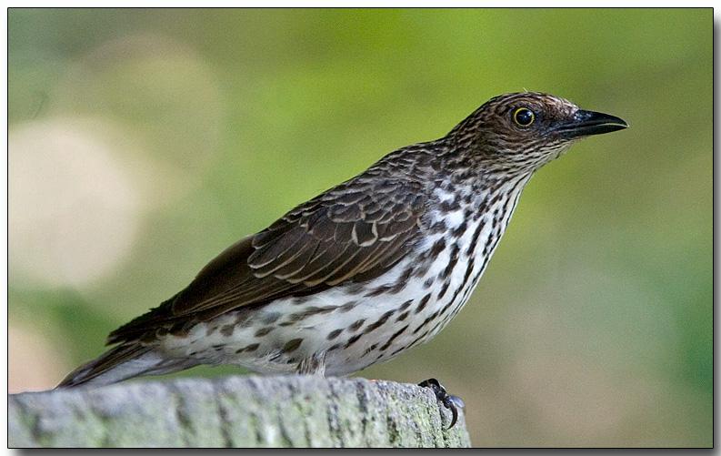 Violet-backed Starling - female