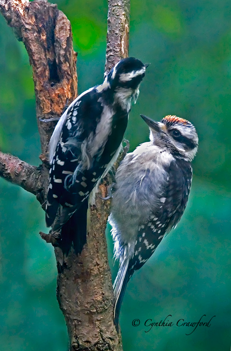 Juvenile Hairy Woodpecker (male) begging