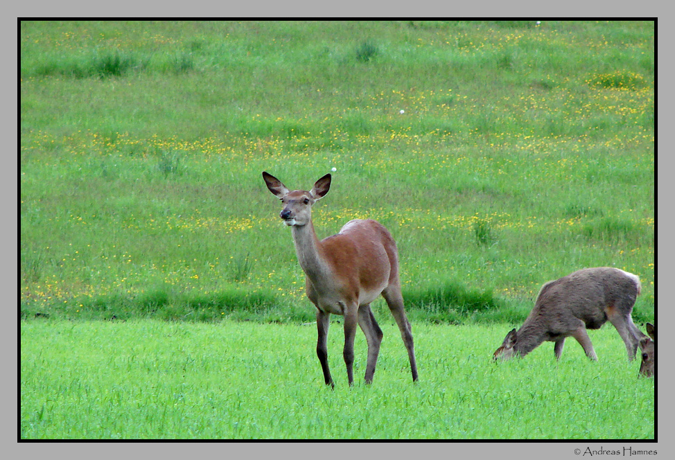 Hind & fawn