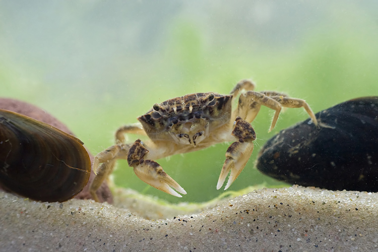 Krabik amerykanski (<i>Rhithropanopeus harrisii</i>)
