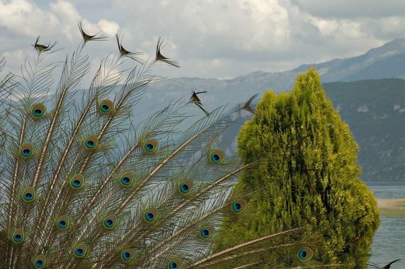 Peacock tail, Sveti Naum Monastery