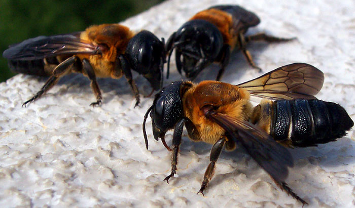 Giant Resin Bees