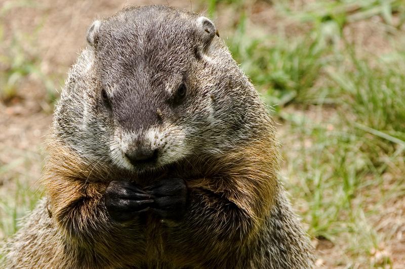 Just A Groundhog
