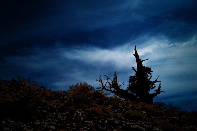 The Bristle Cone Pine - Beauty Within and Without