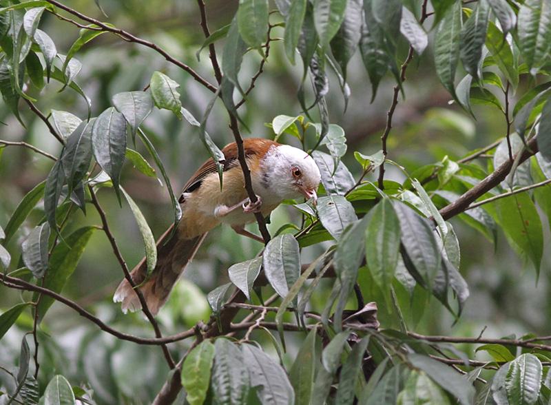 White Hooded Babbler