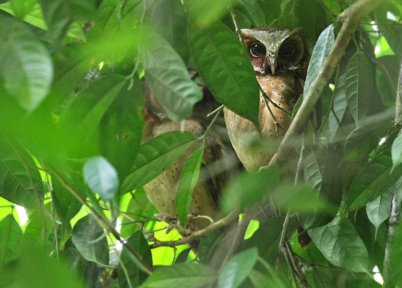 White-fronted Scops Owl