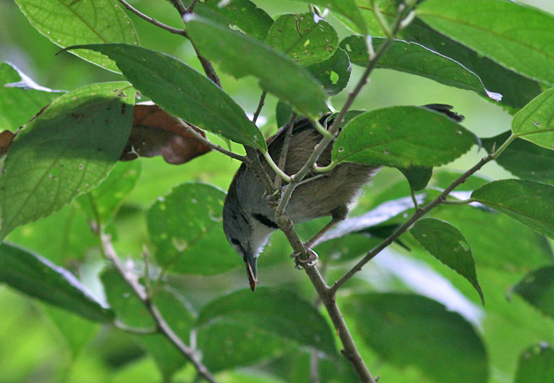Crescent-chested Babbler