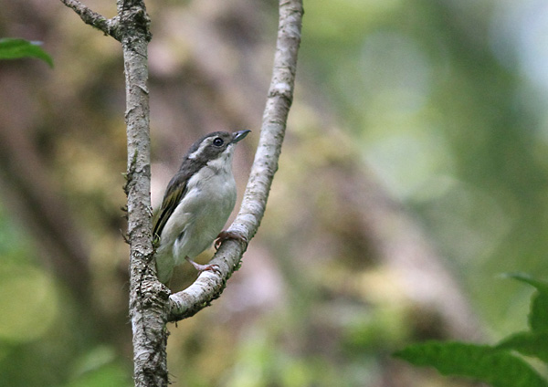 White-browed Shrike Babbler, female
