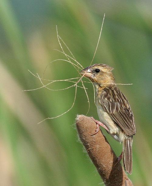 Asian Golden Weaver, female