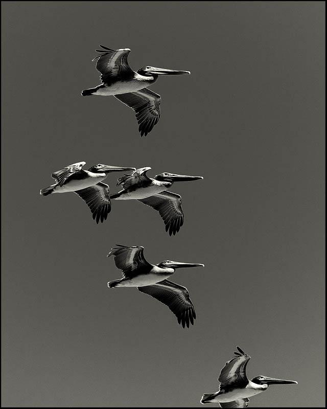 2009 Pelicans