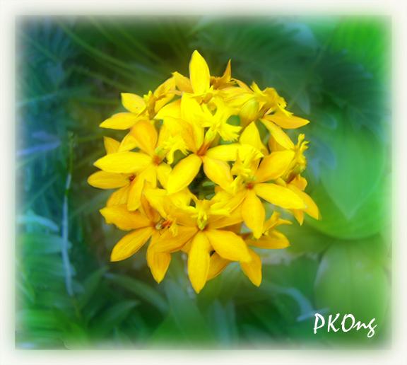 Yellow orchids1.jpg