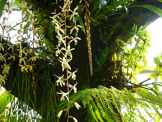 Dangling  orchids.jpg