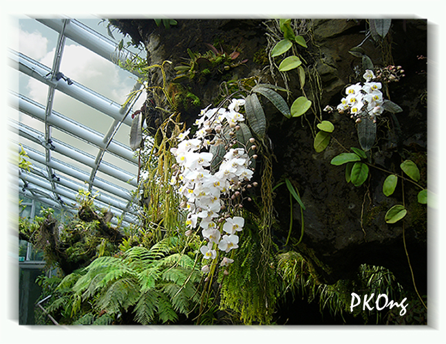 Hanging white orchids.jpg