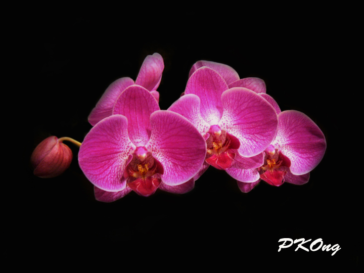 Vanda orchid1.jpg