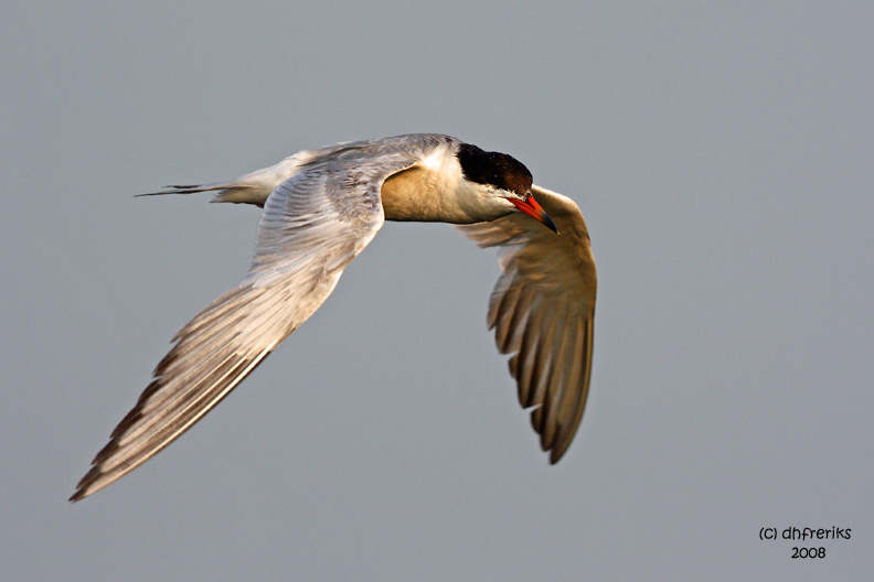 Forsters Tern. Horicon Marsh, WI