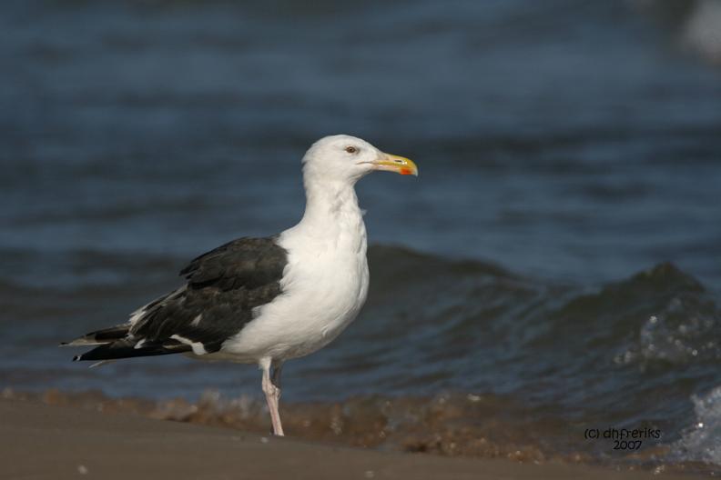 Great Black-backed Gull. Sheboygan, WI
