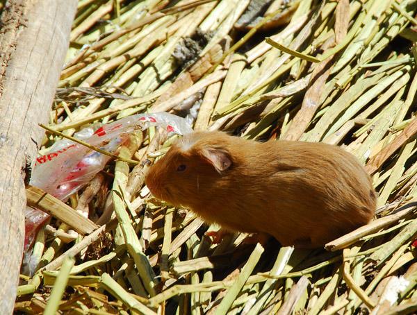 Guinea Pig, Uros Islands
