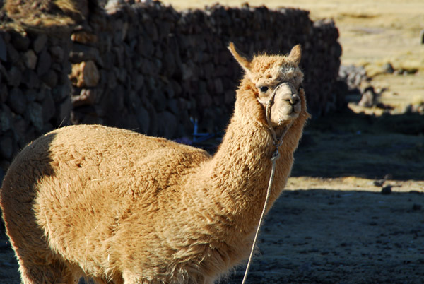 Llama...starting to tell the difference